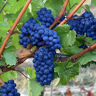 pinot-noir-grapes