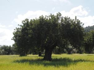 olive-tree-1117667_1920